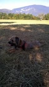 ballade-canine-border-terrier-chiot