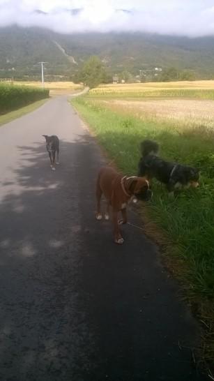 ballade-canine-boxer-berger-australien
